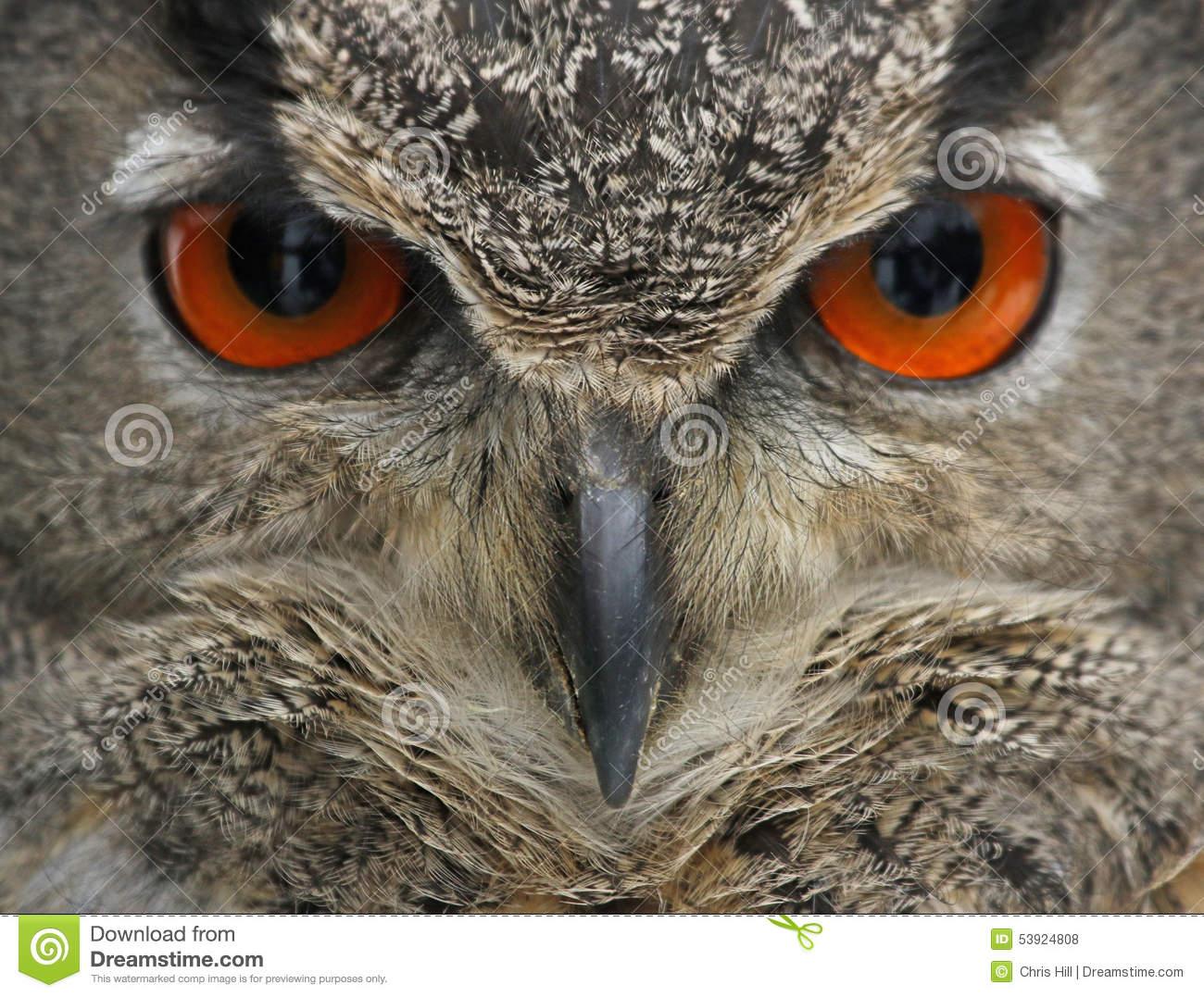 Eurasian Eagle Owl Face Stock Photo.