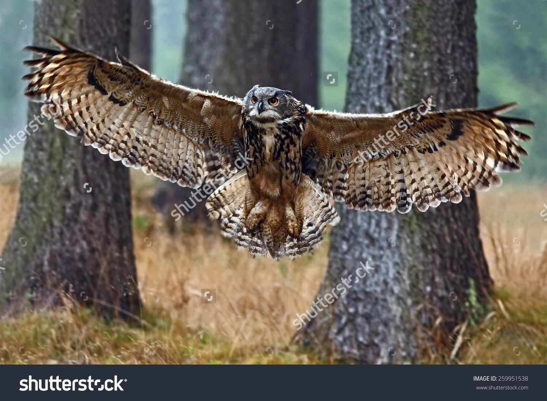 Flying Eurasian Eagle Owl Open Wings Stock Photo 259951538.