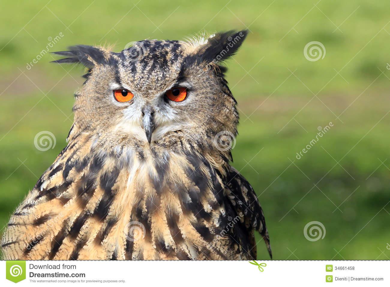 Eurasian Eagle.