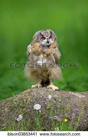 "Stock Photography of ""Eurasian Eagle Owl (Bubo bubo), young bird."