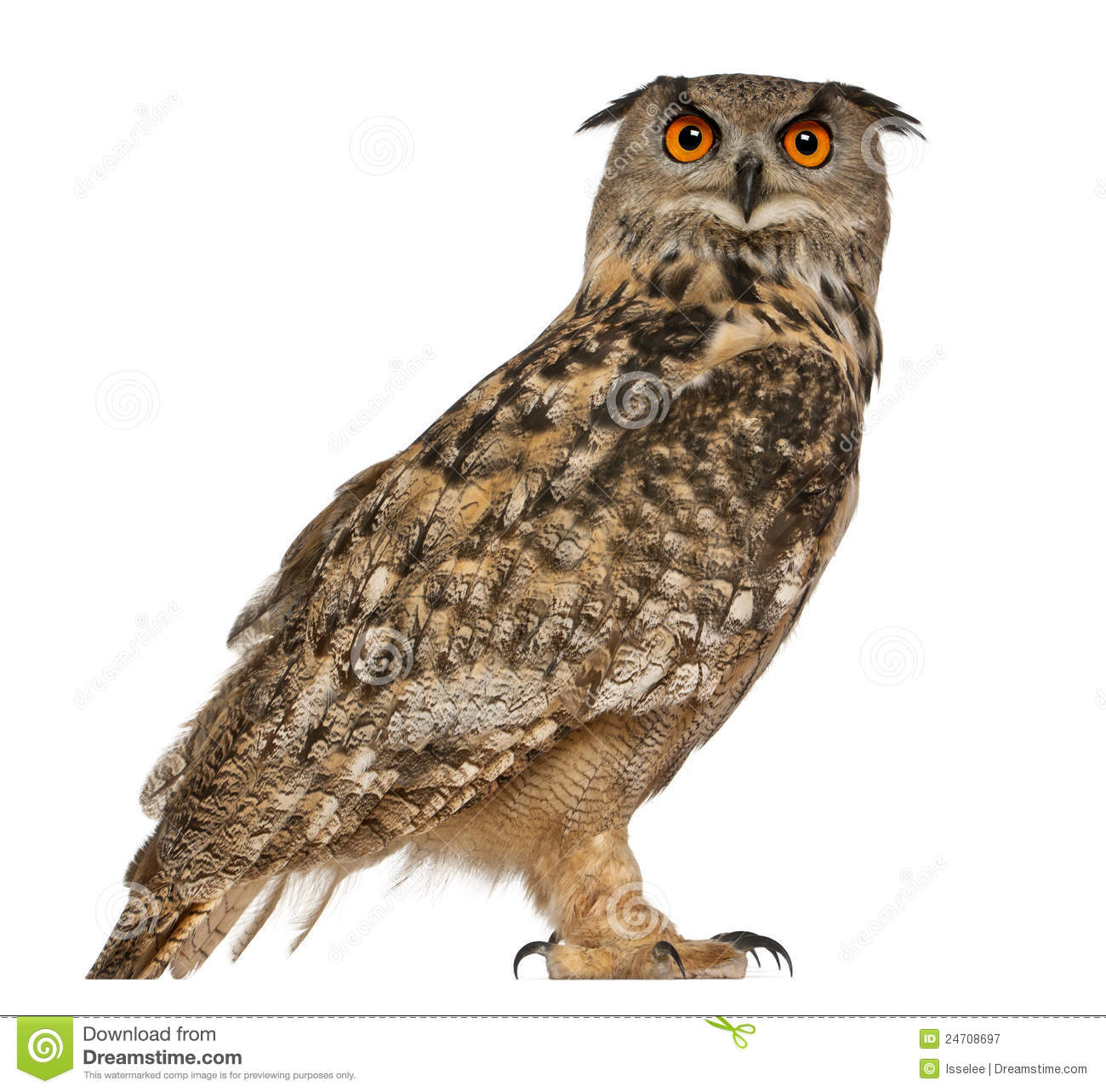 Bubo Stock Photos, Images, & Pictures.
