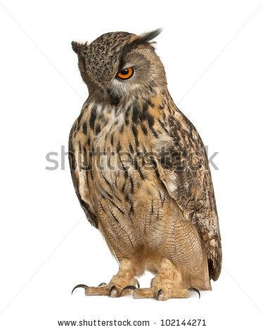 Owl White Background Stock Photos, Royalty.