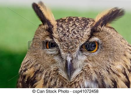 Stock Images of Eurasian Eagle Owl (Bubo Bubo) closeup csp41072458.