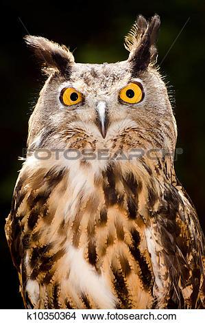 Stock Photo of Portrait of Eurasian eagle owl k10350364.