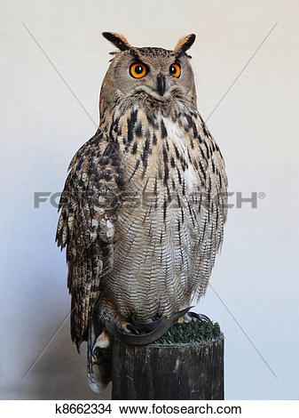 Stock Photo of eurasian eagle owl k8662334.