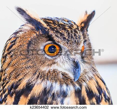 Stock Photo of Eagle Owl (Eurasian eagle owl) Bubo bubo k23654402.