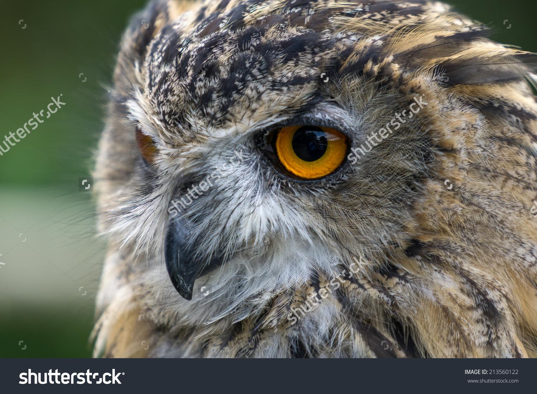 Eurasian eagle siberian owl clipart #2