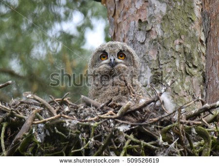 Siberian Eagle Owl Stock Photos, Royalty.