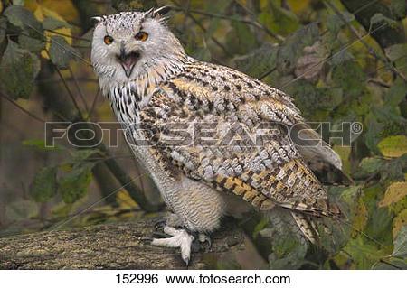 Stock Images of Siberian eagle owl / Bubo bubo sibiricus 152996.