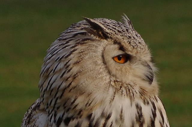 Free pictures EAGLE OWL.
