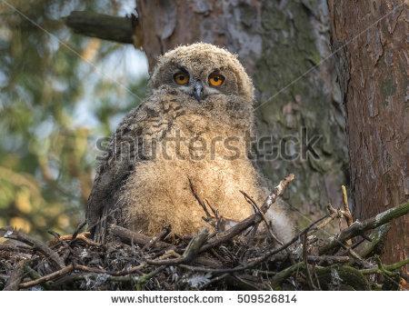 Siberian Eagle Owl Stock Photos, Royalty.