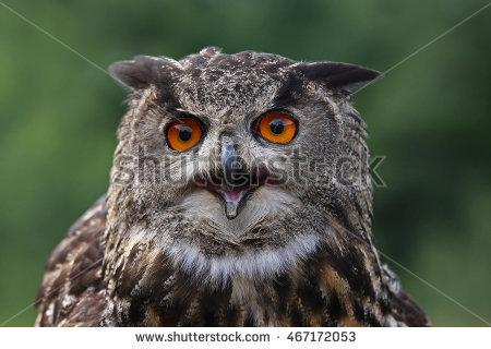 Eagle Eurasian Owl Stock Photos, Royalty.