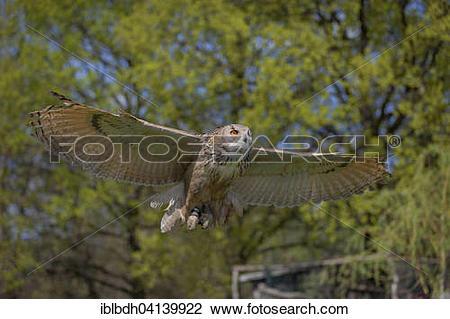 Stock Photo of Siberian Eurasian eagle.
