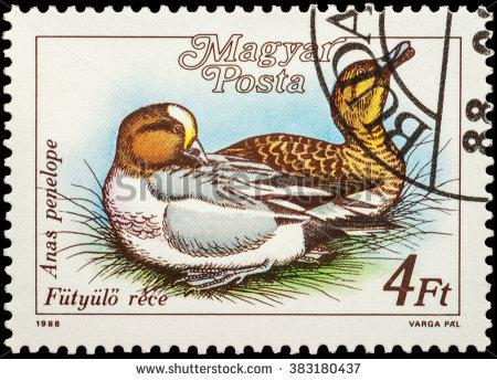 Eurasian Wigeon Stock Photos, Royalty.