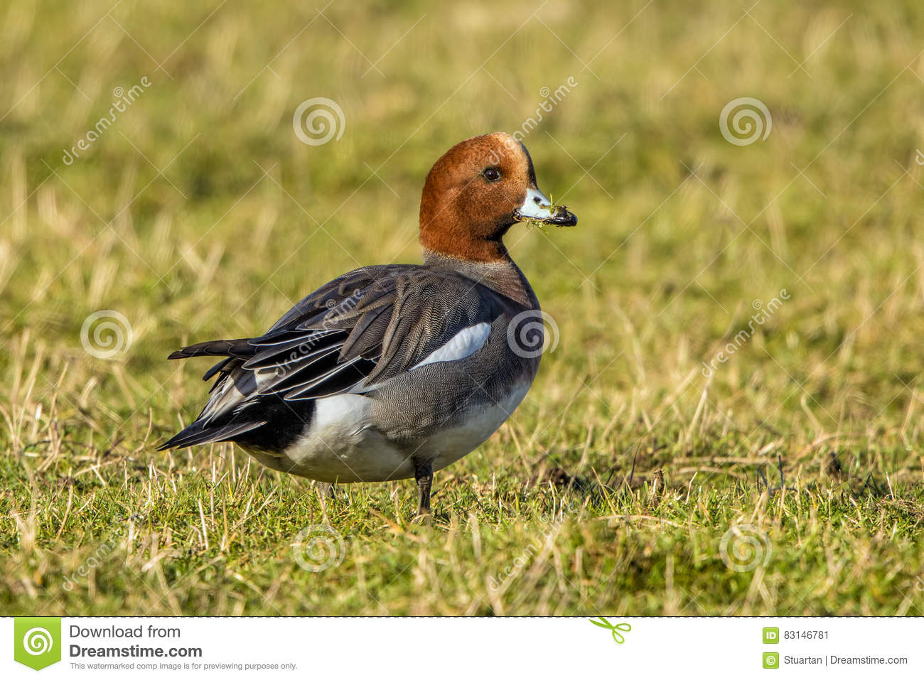 Drake Eurasian Wigeon Stock Photo.