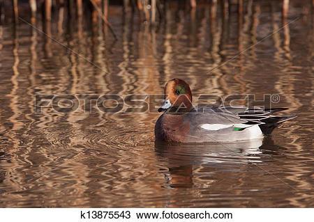 Stock Photo of Male Wigeon or Eurasian Wigeon (Anas penelope.