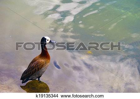 Drawings of Eurasian Wigeon Duck k19135344.