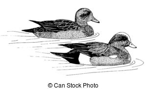 Wigeon Illustrations and Clip Art. 9 Wigeon royalty free.