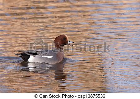 Stock Photos of Male Wigeon or Eurasian Wigeon (Anas penelope.