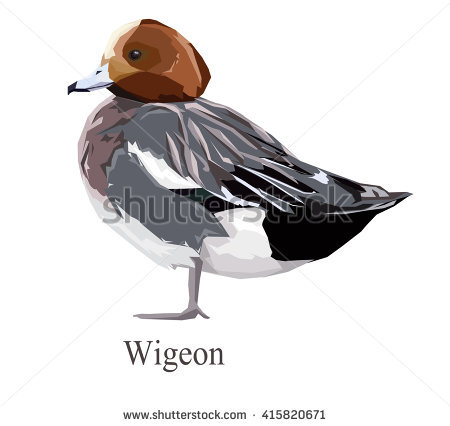 Eurasian Wigeon Bird, Bird Illustration, Wigeon Vector.