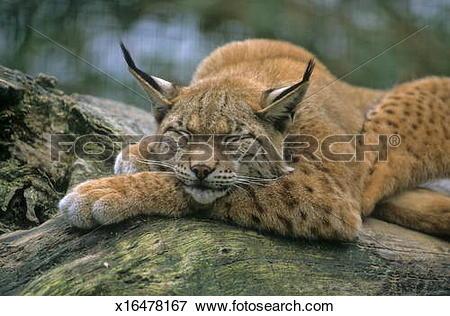 Picture of Eurasischer Luchs (Lynx lynx) x16478167.