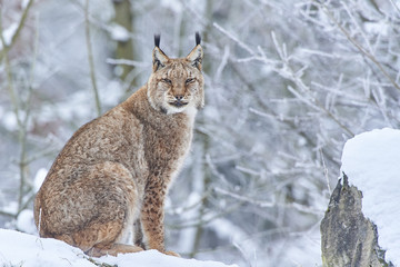 Photos, illustrations et vidéos de lynx.