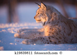 Eurasian lynx Stock Photos and Images. 909 eurasian lynx pictures.