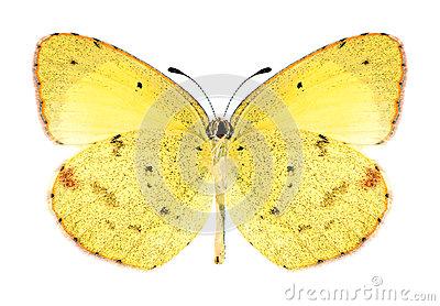 Butterfly Eurema Brigitta (female) Stock Photo.