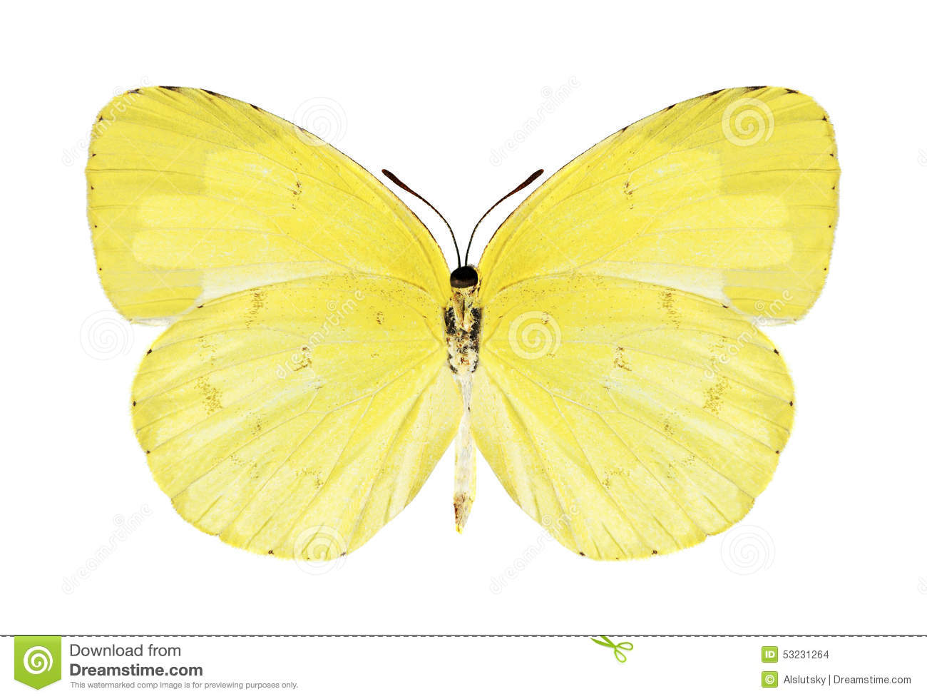 Butterfly Eurema Hecabe (female) (underside) Stock Photo.