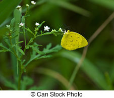 Stock Photos of Little Yellow (Eurema lisa) butterfly on yellow.