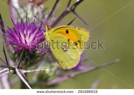 Eurema Lisa Stock Photos, Images, & Pictures.