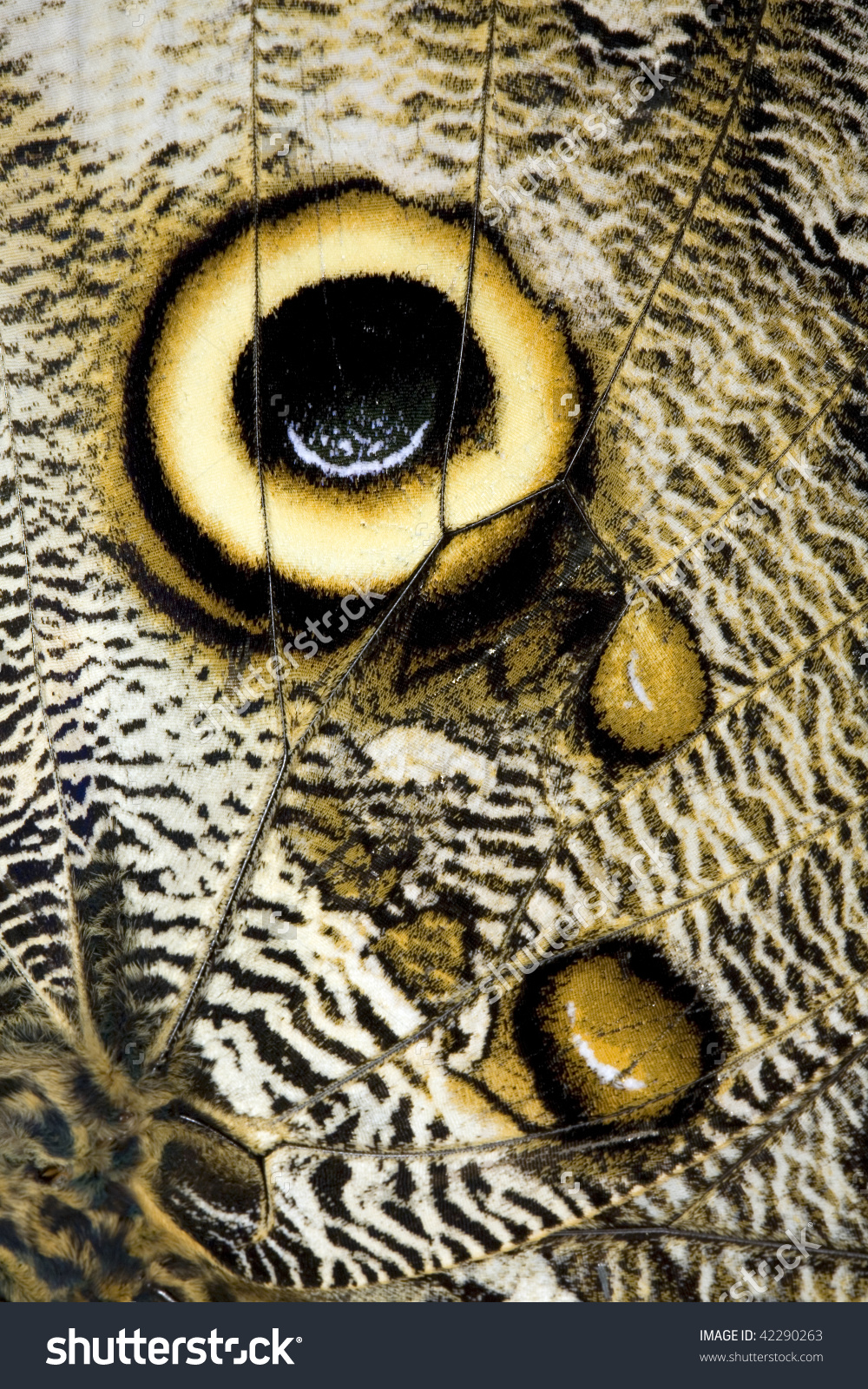Eye Spot On The Wing Of An Owl Butterfly (Caligo Eurilochus) Stock.