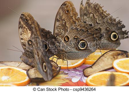 Stock Photo of Owl Butterfly.