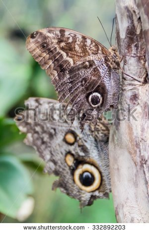 Owl Butterfly Caligo Eurilochus Stock Photos, Royalty.