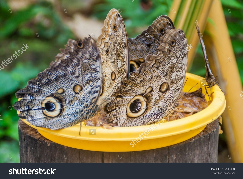 Owl Butterflies (Caligo Eurilochus) In Mariposario (The Butterfly.