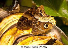 Stock Photo of Bananenfalter (Caligo Eurilochus).