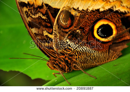Close Owl Butterfly Caligo Eurilochus Large Stock Photo 20891887.