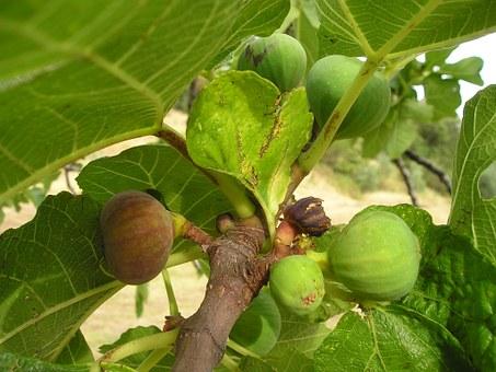 Fig, Tree.