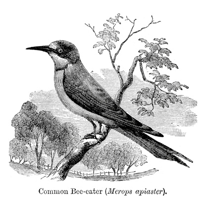 European Bee Eater Clip Art, Vector Images & Illustrations.