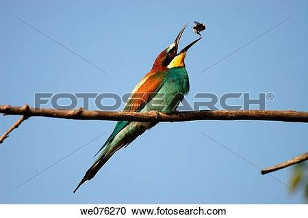 Stock Photography of European Bee Eater (Merops apiaster) we076270.