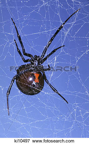 Picture of red hour glass mark on black widow spider latrodectus.