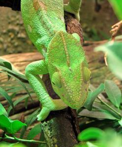 Chameleon Clip Art Download.