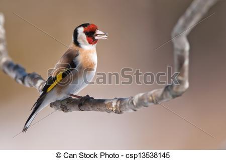 Stock Photo of European Goldfinch (Carduelis carduelis) eating.