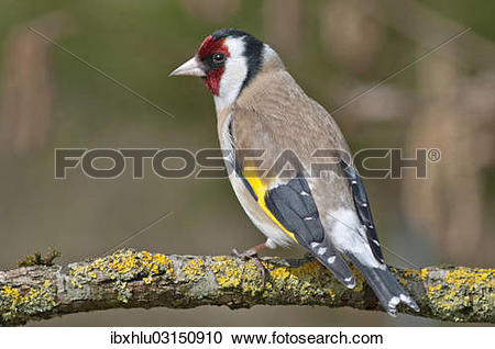 """Stock Photography of """"European Goldfinch or Goldfinch (Carduelis."""