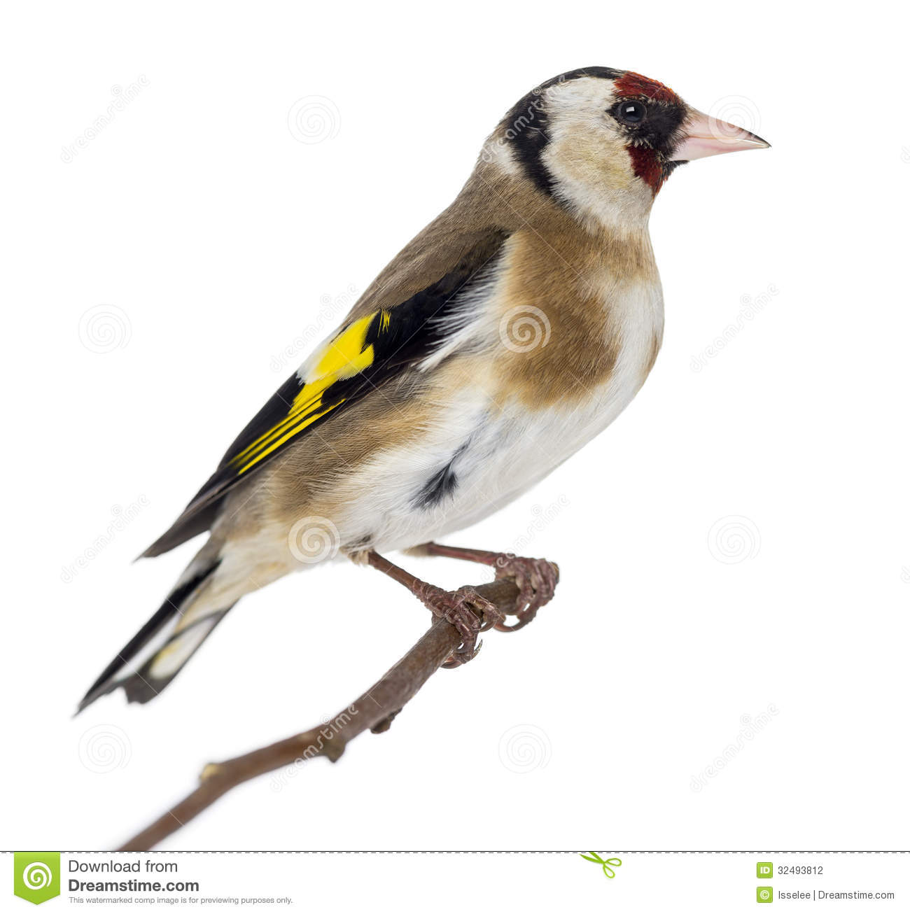 European Goldfinch (Carduelis Carduelis) Royalty Free Stock.
