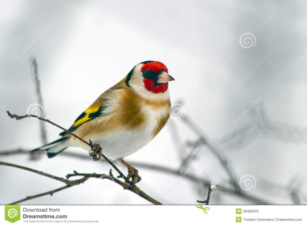 European Goldfinch (Carduelis Carduelis) Royalty Free Stock Images.