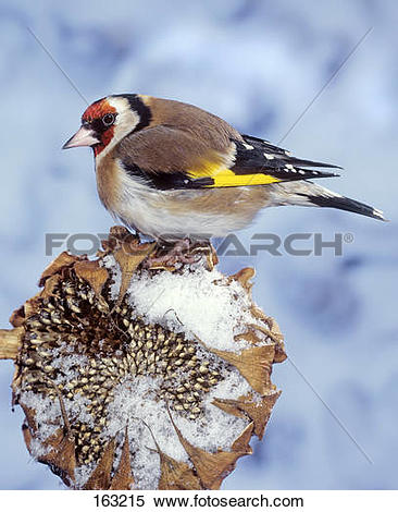 Stock Image of European Goldfinch on sunflower in winter.