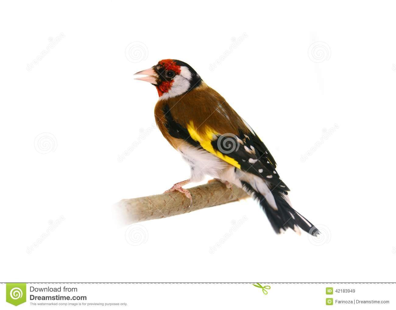 European Goldfinch, Carduelis Carduelis, Standing, Isolated Stock.