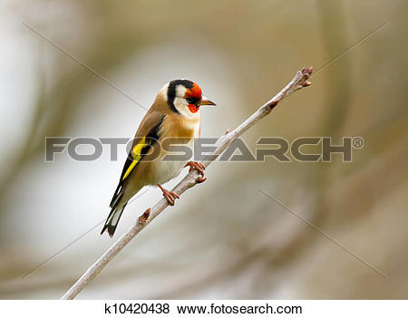 Pictures of European Goldfinch k10420438.