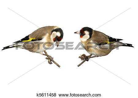 Pictures of European goldfinch isolated k5611458.